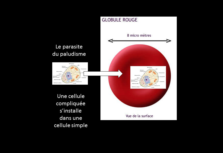 P4 Globules rouges Labroom